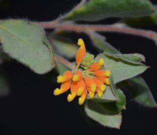 Grevillea pimeleoides