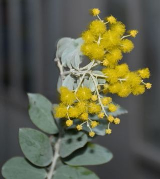 Acacia podalyriifolia (Mt Morgan wattle)