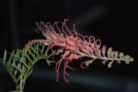 Grevillea 'Pick o' the Crop'