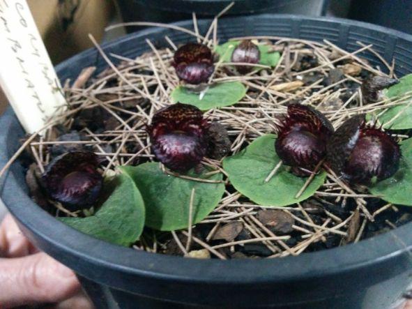 Corybas sp. (Helmet Orchid)