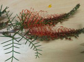 Grevillea 'Thorny Devil' (nana ssp nana x tenuiloba)