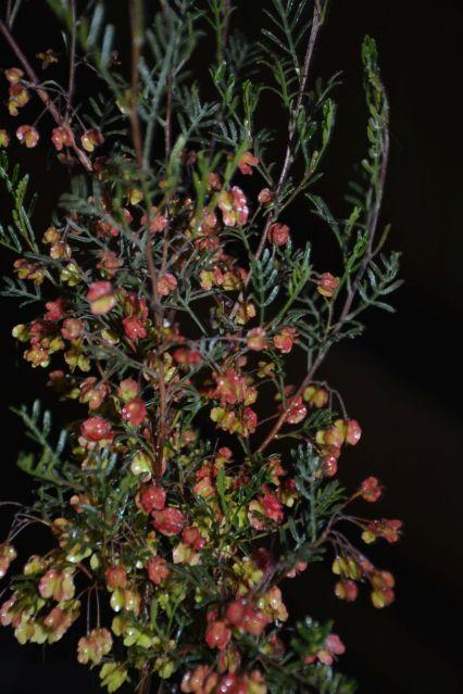 Dodonaea adenophora (poss. sinuolata)