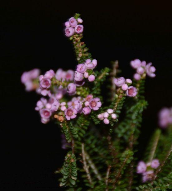 Thryptomene saxicola 'Paynes hybrid'