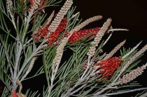 Grevillea 'Scarlet King' (G. nivea)