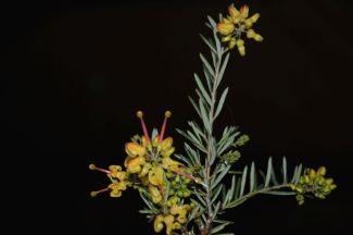 Grevillea 'Gold Rush' (alpina x rosmarinifolia)