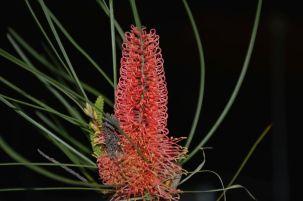 Hakea bucculenta