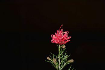 Grevillea rosmarinifolia 'Scarlet Sprite' (G. Pryors Hybrid)