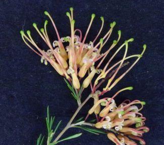 Grevillea sempiflorens