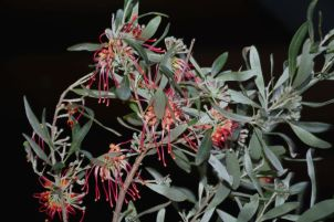 Grevillea olivacea (Olive Grevillea