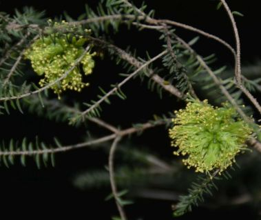 Melaleuca diosmifolia (Green Honey Myrtle)