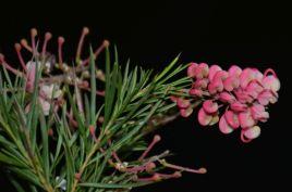 Grevillea rosmarinifolia 'Rosy Posy'
