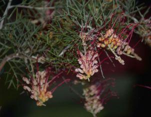 Grevillea calliantha (Foote's Grevillea)