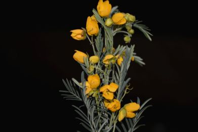 Senna artemisioides