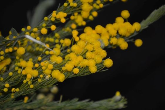 Acacia laricina?