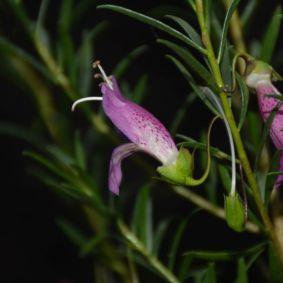 Eremophila alternifolia x maculata