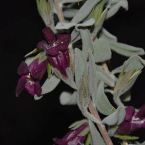 Eremophila muelleriana