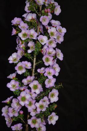 Leptospermum hybrid
