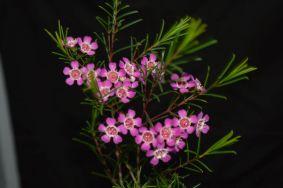 Chamelaucium 'Purple Pride'