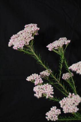 Ozothamnus diosmifolius 'Benfer's Pink'