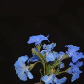 Leschenaultia biloba