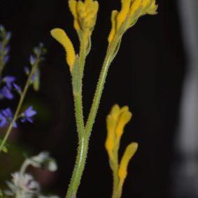 Anigozanthos hybrid