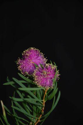 Melaleuca filifolia?