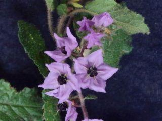 Thomasia purpurea x solanacea
