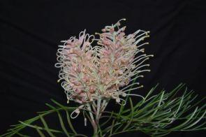 Grevillea 'Pink Surprise'