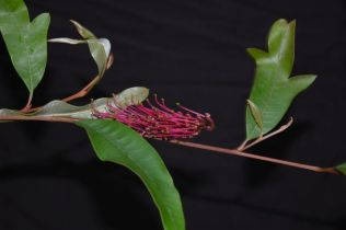 Grevillea 'Poorinda Royal Mantle'