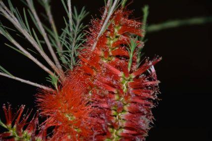 Melaleuca lateritia (Robin Red-breast bush)