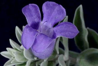 Eremophila mackinlayi