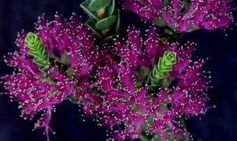 Regelia ciliata