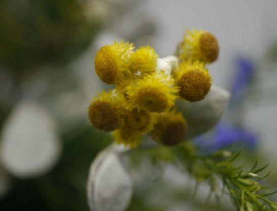 Chrysocephalum apiculatum (Bridgewater Bay)