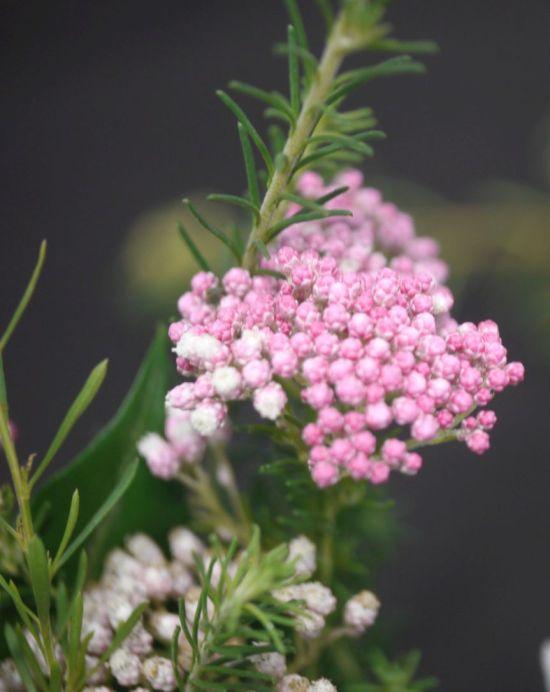 Ozothamnus diosmifolius (Rice flower)