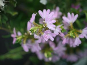 Scaevola aemula (pink form)