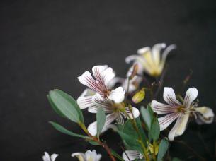 Marianthus bicolor