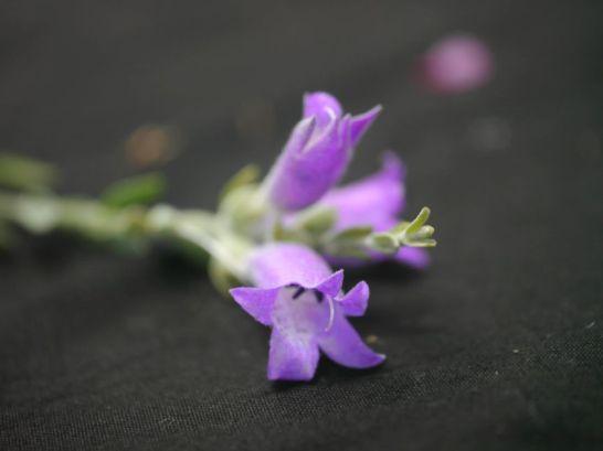 Eremophila malacoides (Frontage Poverty Bush)