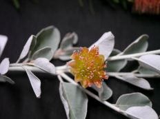 Diplolaena grandiflora (Wild Rose