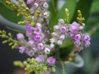Verticordia sp.