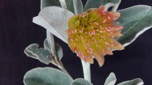 Diplolaena grandiflora (Wild Rose)