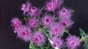 Verticordia monadelpha (Woolly Featherflower)