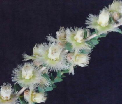 Verticordia chrysostachys