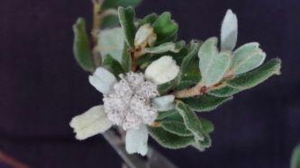Spyridium coactilifolium? (Butterfly Spyridium)