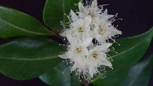 Syzygium anisatum (Ringwood tree)
