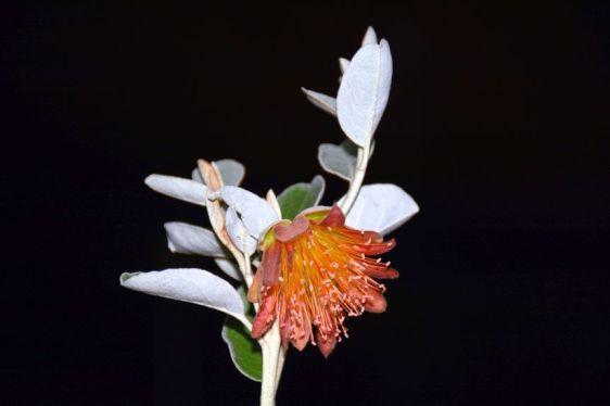 Diplolaena grandiflora