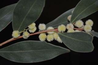 Acacia beckleri ?