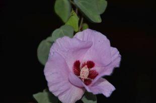 Gossypium sturtianum (Sturt's Desert Rose)