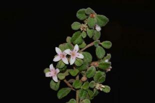 Correa alba (pink)