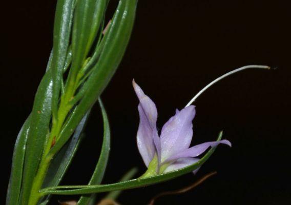 Eremophila flaccida ssp. attenuata - calyx