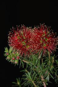Kunzea baxteri (Scarlet Kunzea)